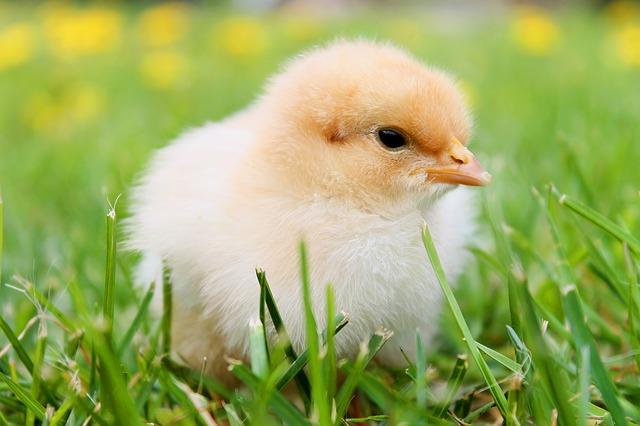 rasing chicken.jpg